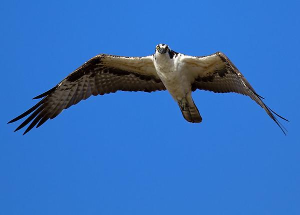 Osprey at Bolivar Flats
