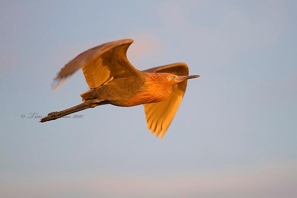 Full frame shot of Reddish Egret