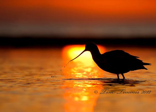 Avocet silhouette at sunrise