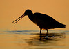 Marbled Godwit morning silhouette