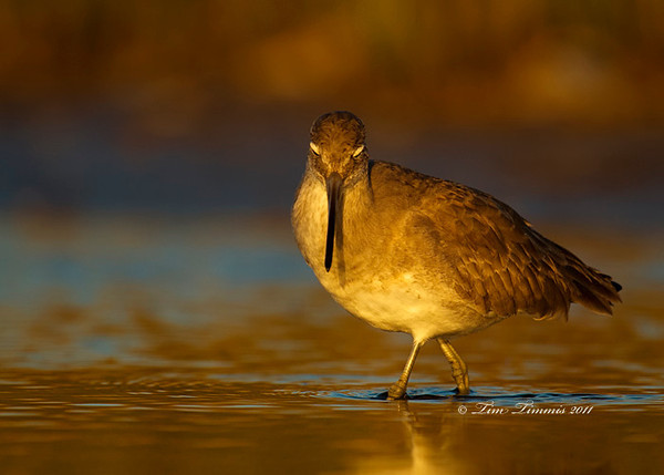Willet in morning light at Bolivar Flats