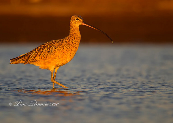 Marbled Godwit in morning light