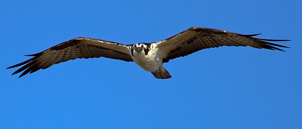 Osprey at Bolivar Flats