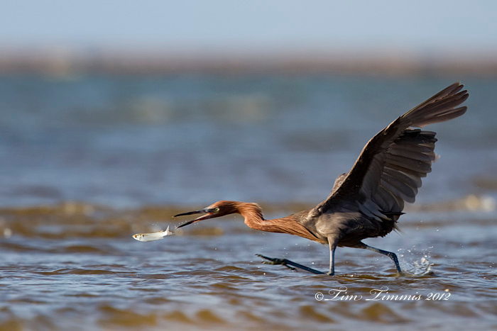 Reddish Egret from Bolivar Flats, TX taken with Canon 7D and Canon 500mm F4 IS II and 1.4x III mounted on Skimmer ground pod with full Wimberley head