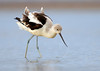 Avocet on a windy day at Bolivar