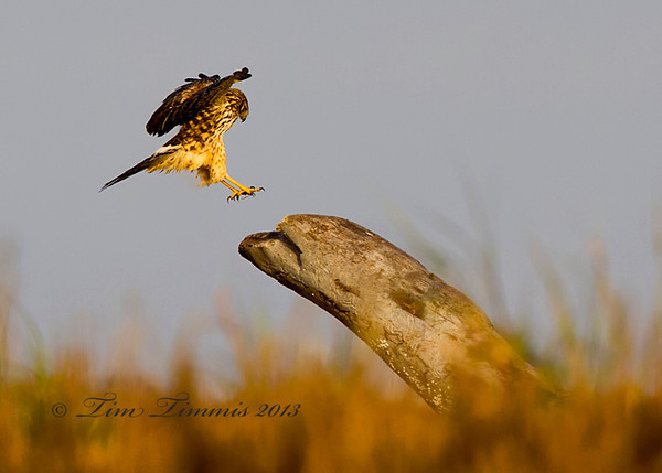 Northern Harrier coming in for a landing.  Taken while lying down on a sand bar with my ground pod and Wimberley II head.