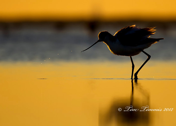 Avocet at sunrise