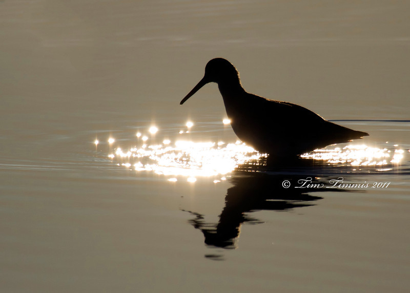 Willet silhouette at sunrise