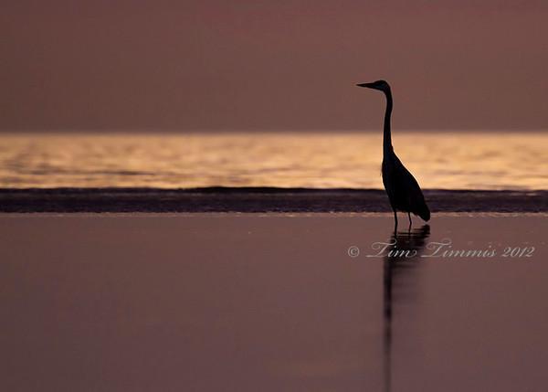 Great Blue Heron before sunrise at Bolivar
