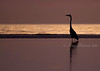 Great Blue Heron before sunrise at Bolivar