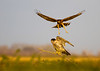 Northern Harrier harassing a Peregrine Falcon