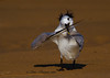 Tern playing the fiddle