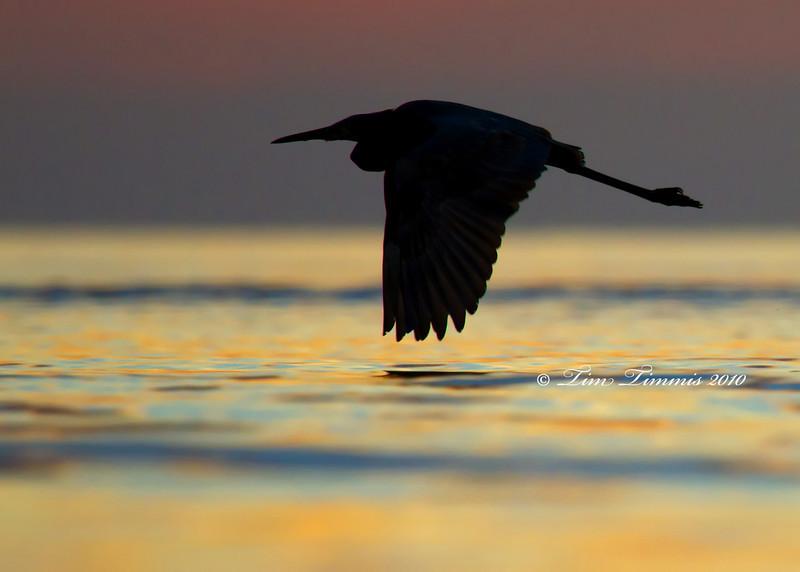 Reddish egret at sunrise