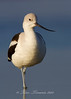 Avocet from Bolivar Flats taken with Canon 7D and Canon 500mm F4 IS II and 1.4x III teleconverter mounted on Skimmer ground pod
