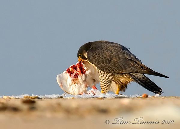Falcon eating Seagull