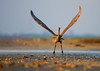 Reddish Egret taking off