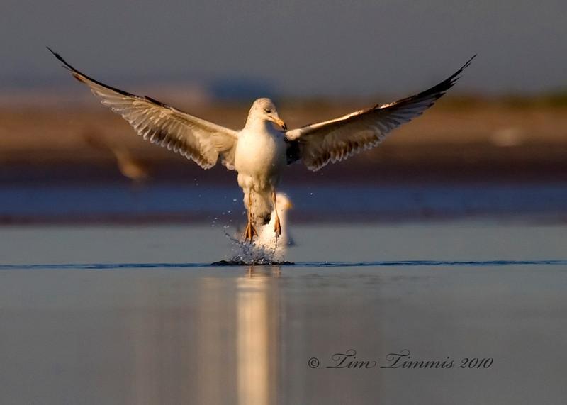 Gull lifting off
