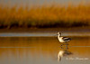 Avocet at Bolivar Flats, TX