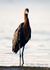 Reddish Egret posing in morning light