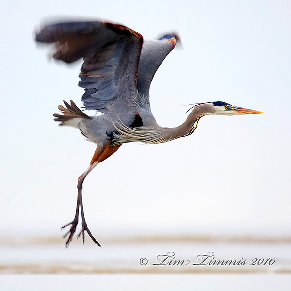 Great Blue Heron lifting off