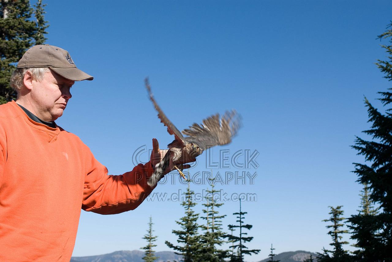 Releasing am adult female Sharp-Shinned Hawk
