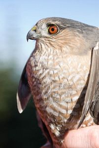 Adult female Sharp-Shinned Hawk