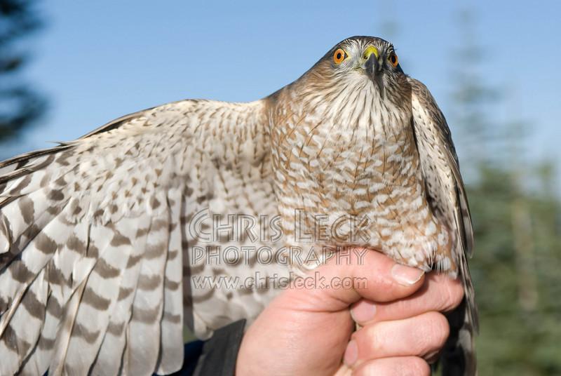 Adult female Sharp-Shinned Hawk