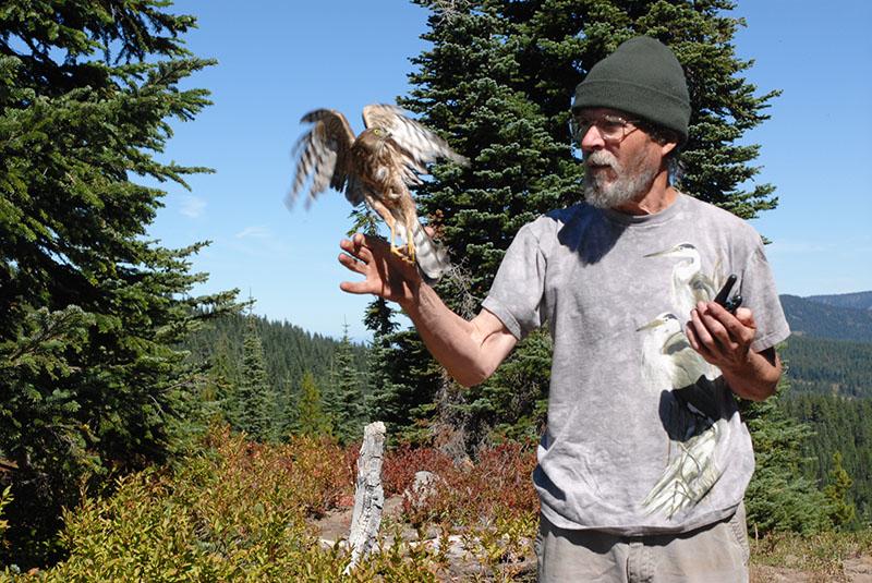 Releasing a Sharp-shinned Hawk