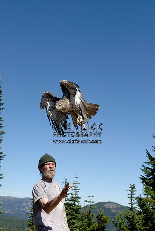 Releasing a Red-tailed Hawk