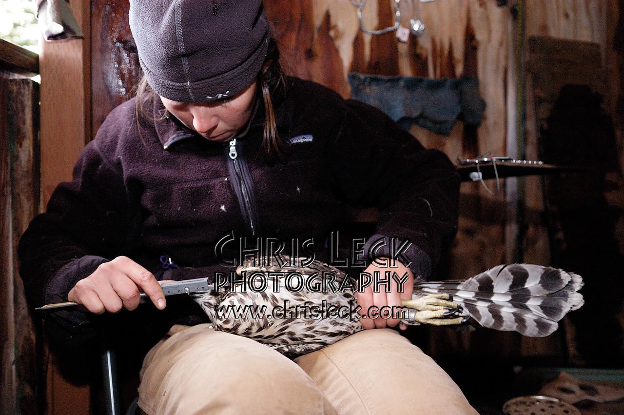 Measuring a Northern Goshawk