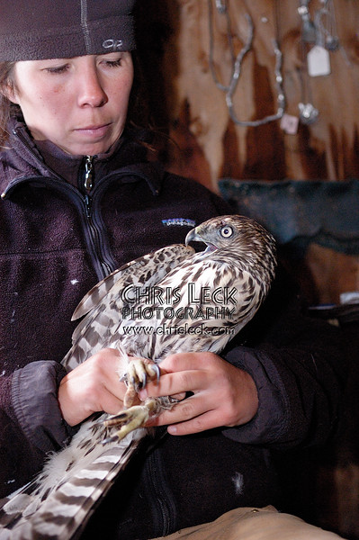 Northern Goshawk being examined