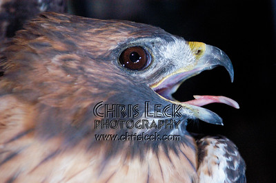 Adult Red Tail Hawk