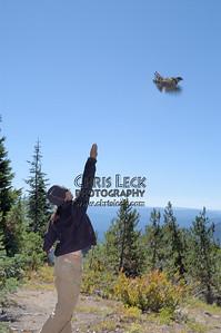 Releasing a Cooper's Hawk