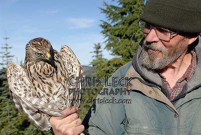 Northern Goshawk (immature male)