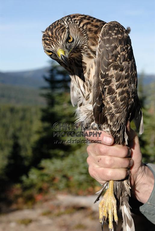 Northern Goshawk (immature male)