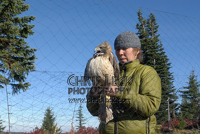 Extricating a Red-Tailed Hawk from the mist net