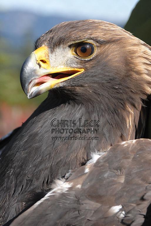 A calm Golden Eagle