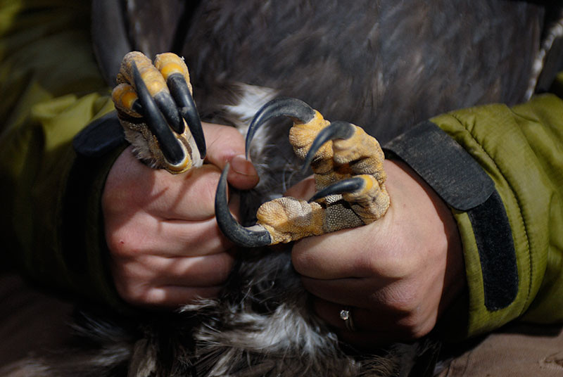 Golden Eagle talons. Freddy Krueger would be proud.