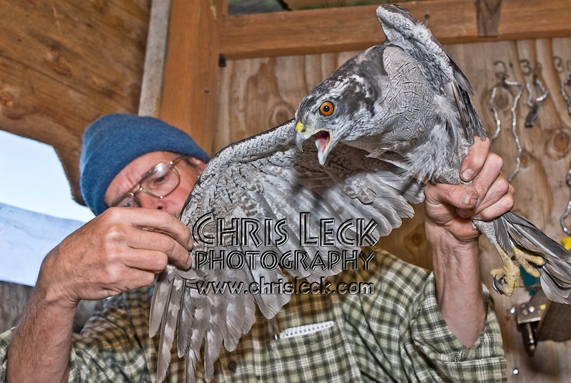 Adult male Goshawk