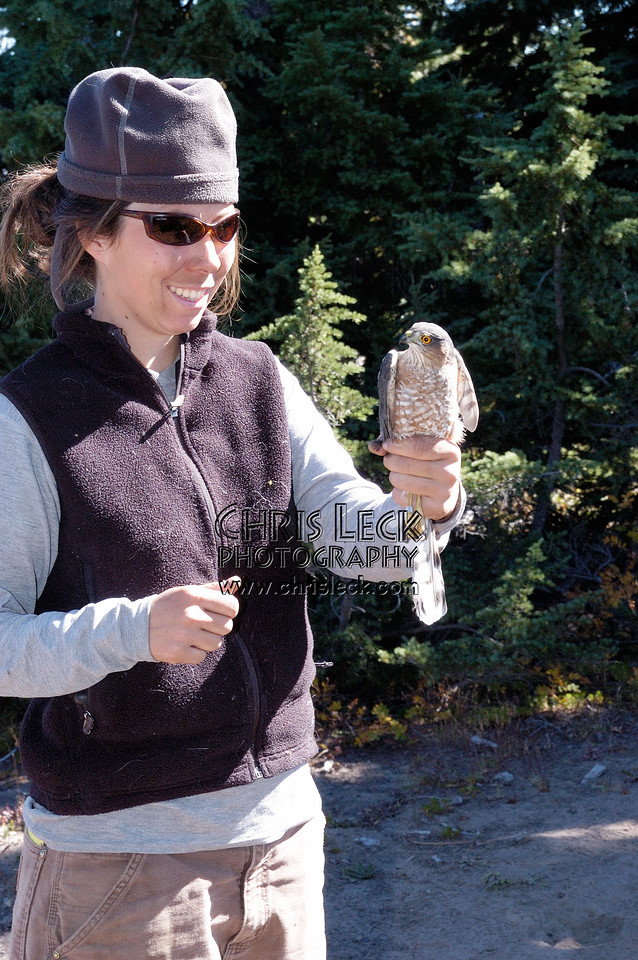 Ready to release a Sharp-shinned Hawk