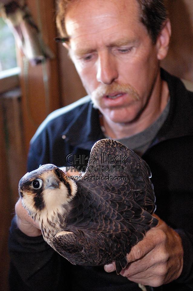 Measuring a Peregrine Falcon