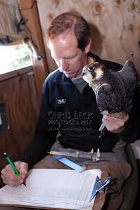 Logging the Peregrine Falcon's measurements