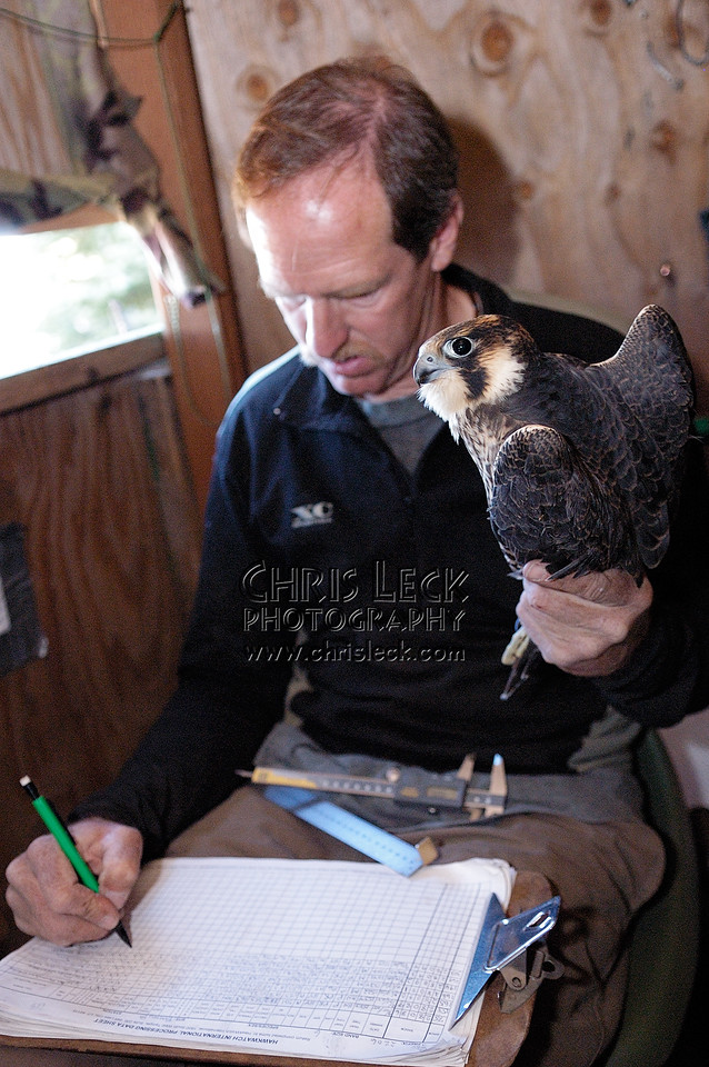 Logging the Peregrine Falcon's measurements