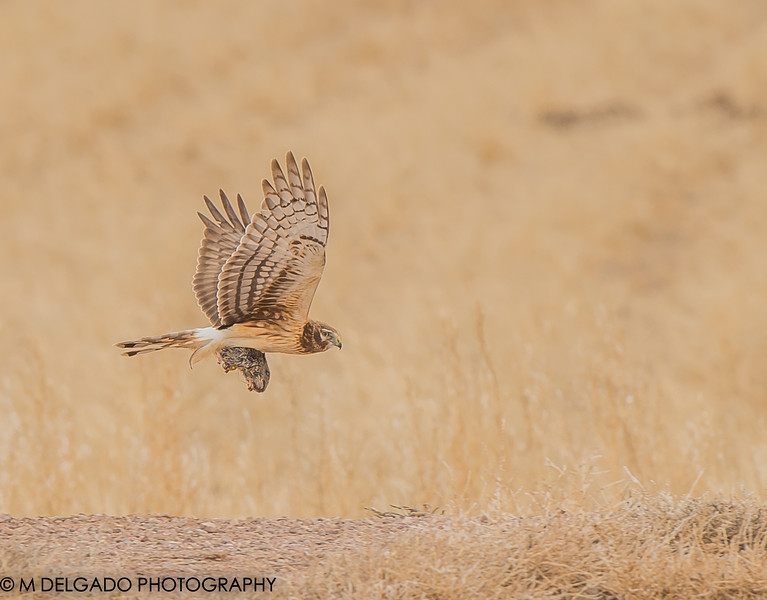 Northern Harrier with rat