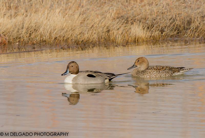 Pintail (male & female)