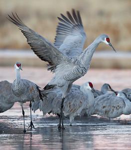 sandhill cranes on ice, December in Bosque del Apache, NM