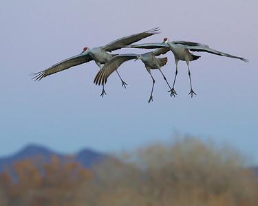 sandhill cranes landing, December in Bosque del Apache, NM