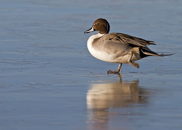 northern pintail drake on ice, December in Bosque del Apache, NM