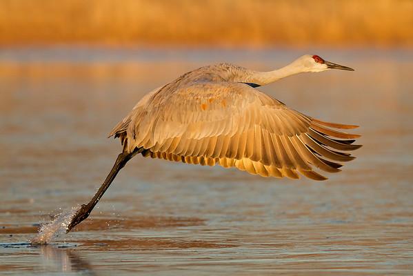 sandhill crane taking flight, December in Bosque del Apache, NM