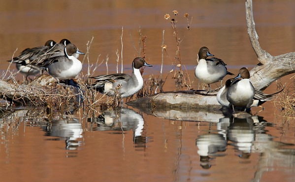 northern pintails, December in Bosque del Apache, NM